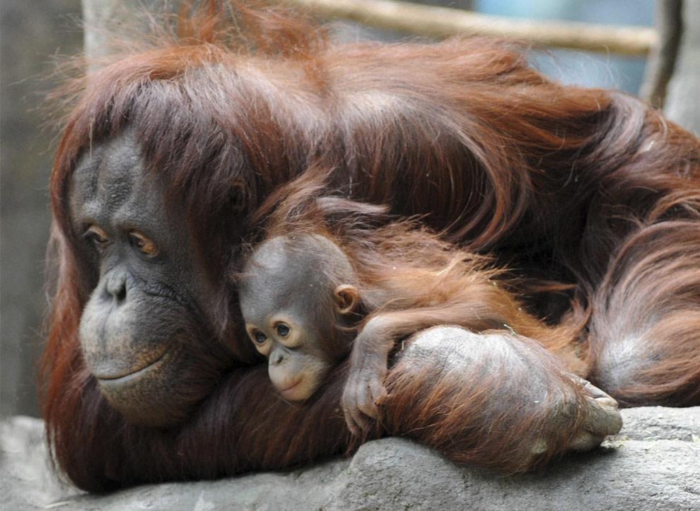 Q Son Los Orangutanes orangutan que chimpance